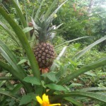 Pineapple growing in a plant in a garden
