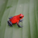 Red frog with blue legs on leaf in nature.
