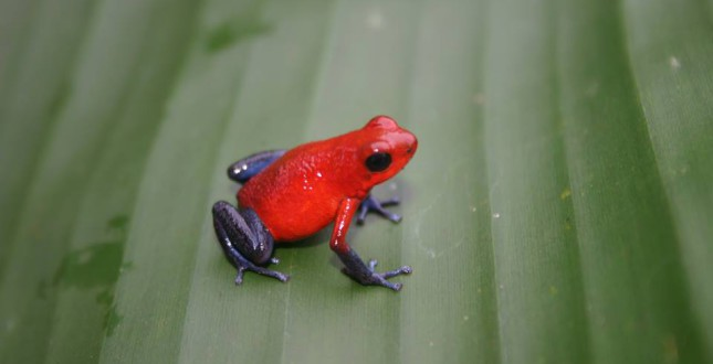 Blue Jeans frog in nature in Panama