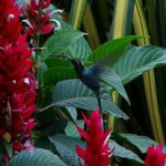 Humminbird ready to drink out of a red flower