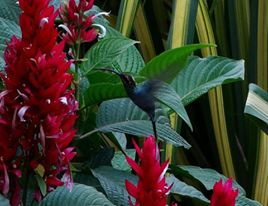 Hummingbirds in the garden of the Turrialba Hostel