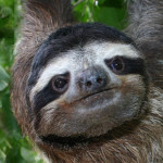 Smiling sloth in a tree