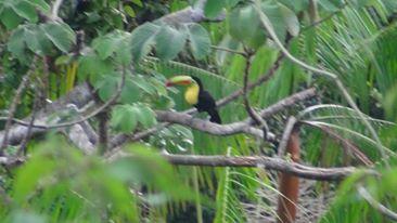 Tucans seen in Cerro Ancón - Panama City
