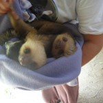 Two baby sloths in the arms of a student
