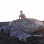 Large leatherback seaturtle with volunteer person in the back