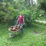 Woman with wheelbarrel filled with coconuts in garden.